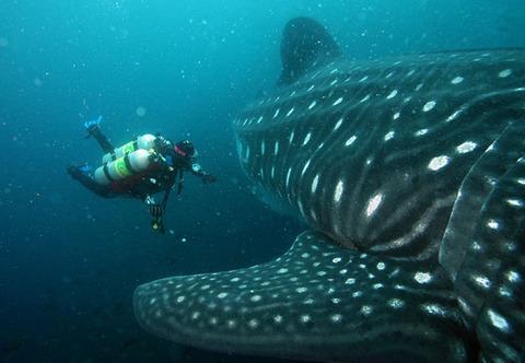 whale-sharks-honduras